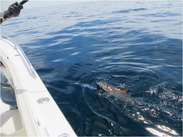 Fishing Shark2